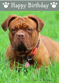 Dogue de Bordeaux-Happy Birthday (No Theme)